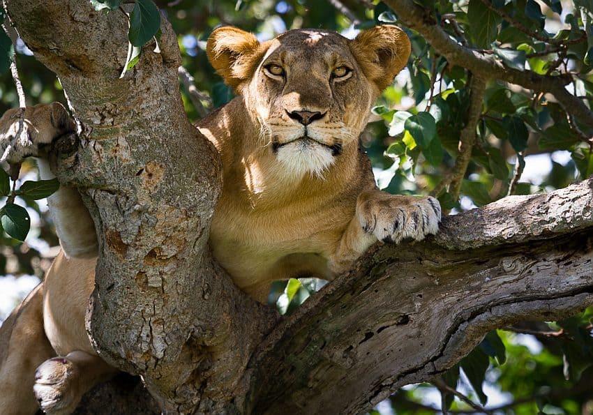 Baumlöwen Uganda