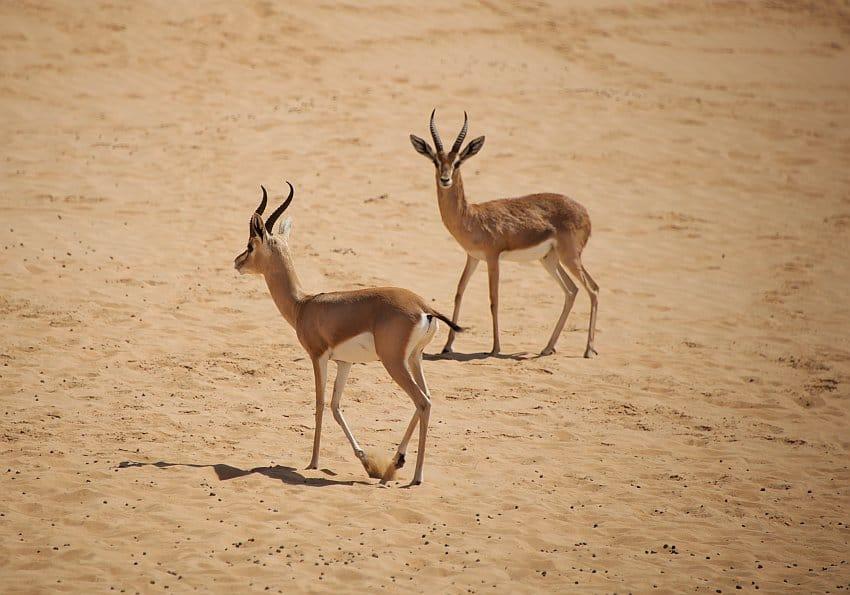 Tierwelt Wüste Dubai