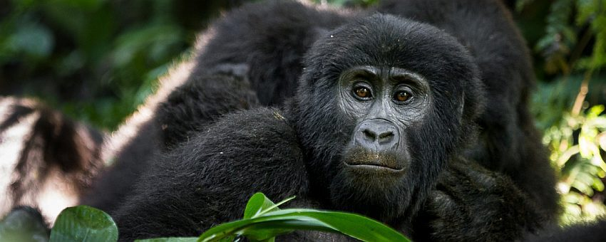 Gorillaheader