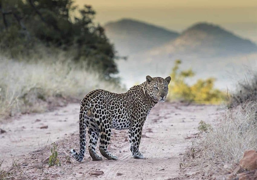 Safari Tag Leopard