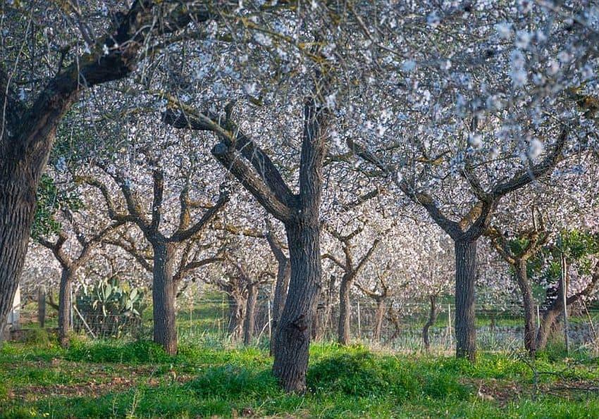 Mandelbäume Mallorca