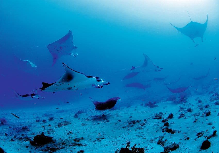 Mantas im Indischen Ozeanww