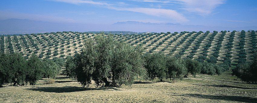 Spanien Andalusien Olivar