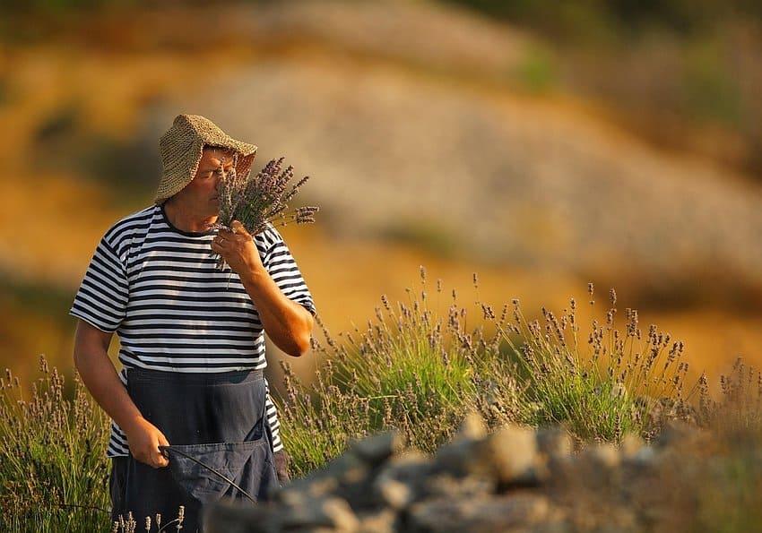 Kroatien Lavender Harvest