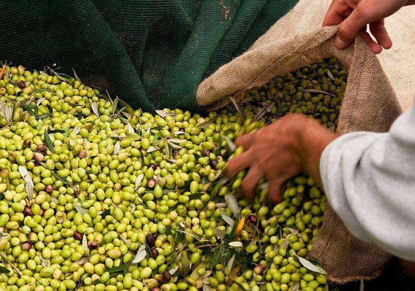 Olive Harvesting