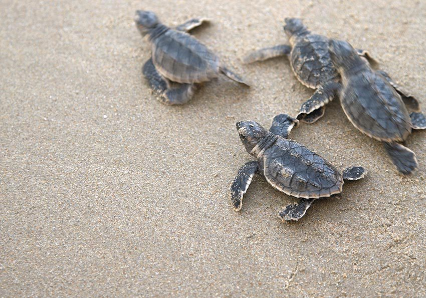 Turtles Oman