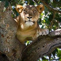 Baumlöwen im Queen Elizabeth Park - Uganda 10 Tage - pures Afrika