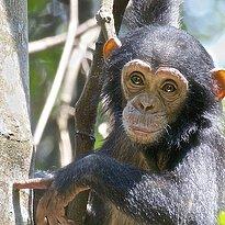 Schimpanse - Kibale Nationalpark - Uganda 10 Tage - pures Afrika