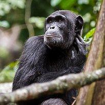 Schimpansen - Kibale Nationalpark