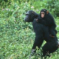 Schimpansen - Kibale Nationalpark - Uganda 7 Tage - Highlights