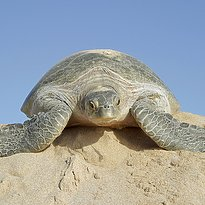 Rundreise Oman - Turtles, Water and Sand
