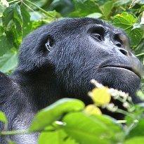 Gorilla - Bwindi Nationalpark