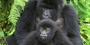 Ugandas faszinierende Tierwelt mit Gorillas und Big 5