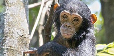 Babyschimpanse - Kibale Nationalpark - Uganda 7 Tage - Highlights