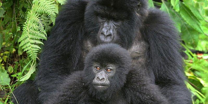 Berggorillas im Bwindi Nationalpark - Uganda 10 Tage - pures Afrika