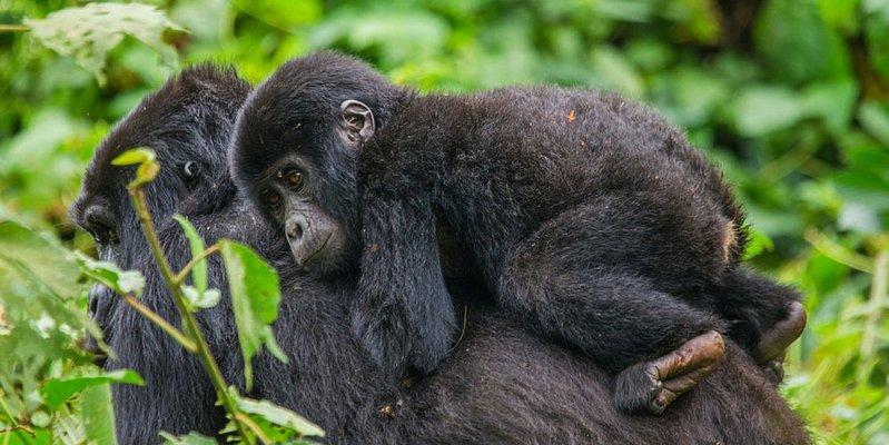 Gorilla - Bwindi Nationalpark - Uganda 14 Tage - die Perle Afrikas