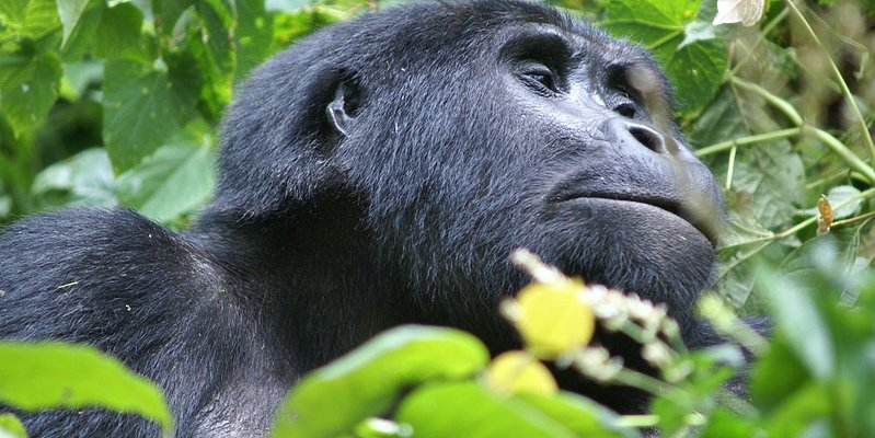 Gorilla - Bwindi Nationalpark